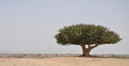 עץ זית במדבר צחיח