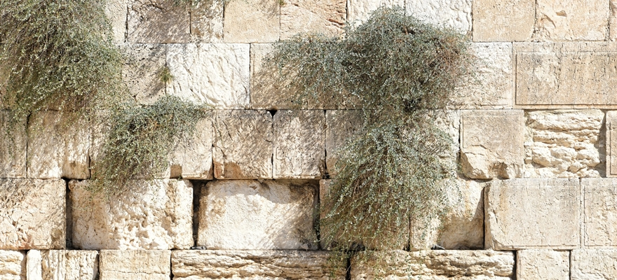אבני הכותל עם צמחיות מטפסות